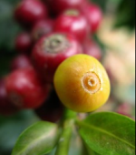 Coffee Cherries