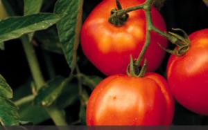 Lovin' Those Tomatoes